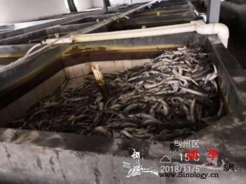湖北芈月桥施工震死36尾极珍贵中华鲟_荆州市-荆州-水产局-