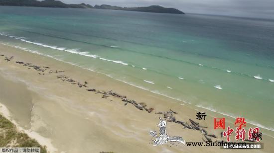 一周内第5起!又有50多头鲸鱼在新西_鲸鱼-搁浅-死亡-