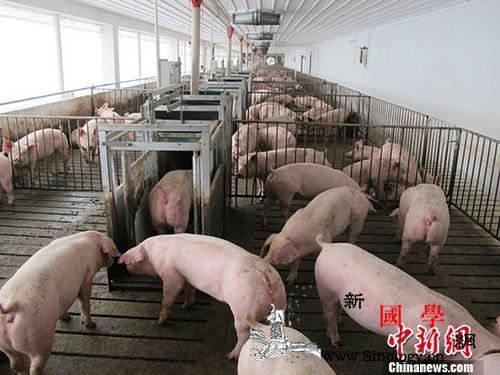 """""""非洲猪瘟""""何以入侵速冻饺子?专家:_猪瘟-非洲-疫情-"""
