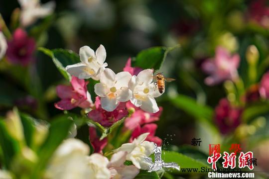 消失近40年世界上体型最大蜜蜂在印_翩翩起舞-物种-普林斯顿- ()