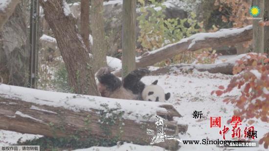 """华盛顿大熊猫迎""""新家""""续写中美熊猫情_贝贝-华盛顿-熊猫-"""
