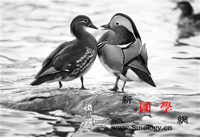 北京首次开展鸳鸯科学调查五环内共发现_鸟类-野生动物-栖息-