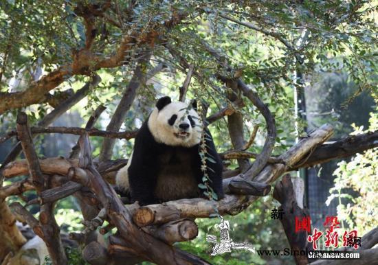 """旅美大熊猫母子""""白云""""和""""小礼物""""将_动物园-圣地亚哥-礼物-"""