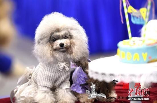 小型犬有大能量!日本一只爱撒娇贵宾狗_警犬-拉布拉多-马里-