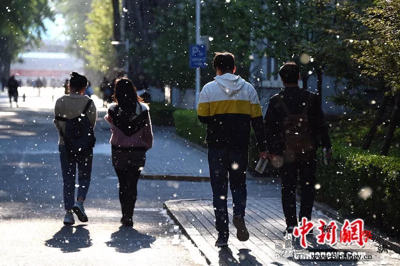 北京近日飞絮漫天网友:我与杨柳絮不共_树种-杨柳-北京-
