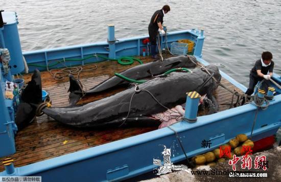 日本设定商业捕鲸配额为227头捕鲸船_北海道-捕鲸船-捕鲸-