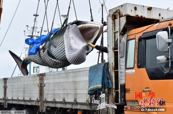 重启商业捕鲸宰杀首条鲸鱼分析:日本或_北海道-捕鲸-捕捞-