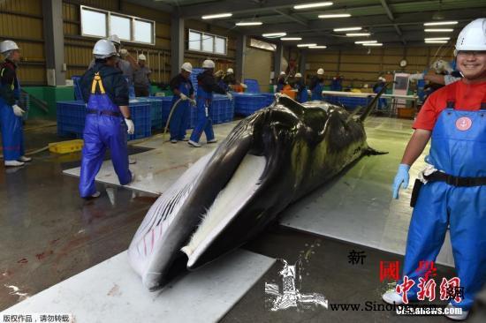 日本重启商业捕鲸专家警告塞鲸面临灭绝_捕鲸-日本-北海道-