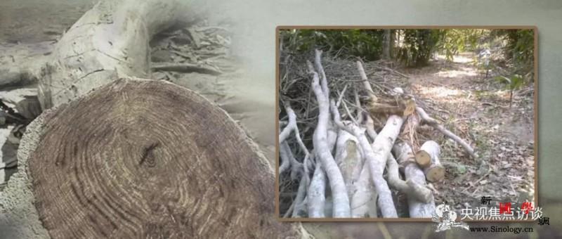 黄花梨遭滥伐林业站不管还怼记者:怎么_海南省-海南-木材-