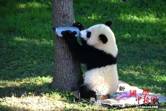 """旅美大熊猫""""贝贝""""快满4岁啦!将于近_贝贝-旅美-华府-"""