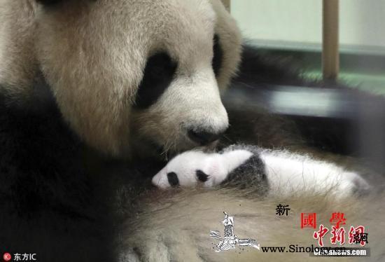 """满1岁啦!旅日熊猫""""彩滨""""迎来周岁纪_纪念活动-日本-周岁-"""