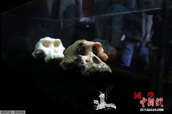 380万年前南方古猿头骨亮相!或颠覆_历史博物馆-埃塞俄比亚-古猿-