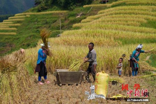 秋粮开收中国粮食年产量比70年前增加_苗族-秋粮-榕江县-