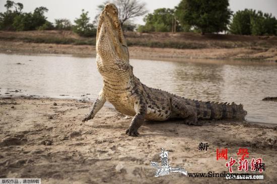5斤重!日本动物园逝世鳄鱼胃里发现逾_密西西比-东山-日本-