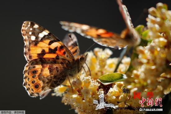 蝴蝶越来越少见了?报告称英野生生物数_英国-物种-蝴蝶-
