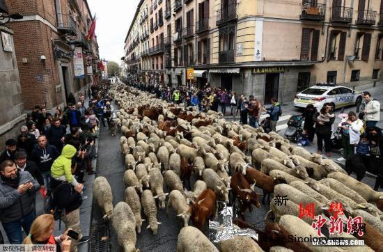 行人靠边!马德里迁徙放牧节2000只_马德里-西班牙-牧羊人-