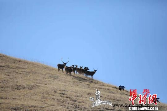 中国黄河源雪豹调查成果丰硕捕获多组珍_青海省-河源-雪豹-