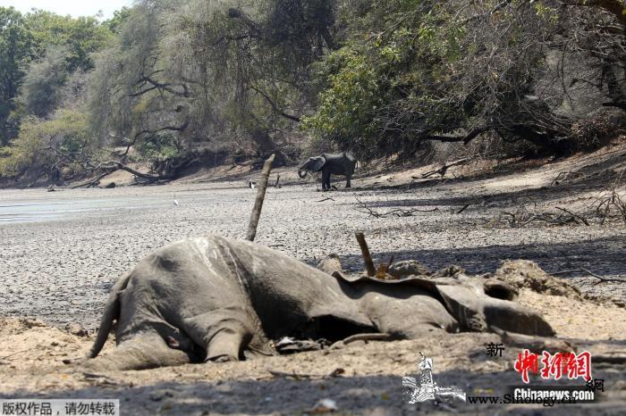 津巴布韦遇严重干旱105头大象因缺水_津巴布韦-波尔-博茨瓦纳-