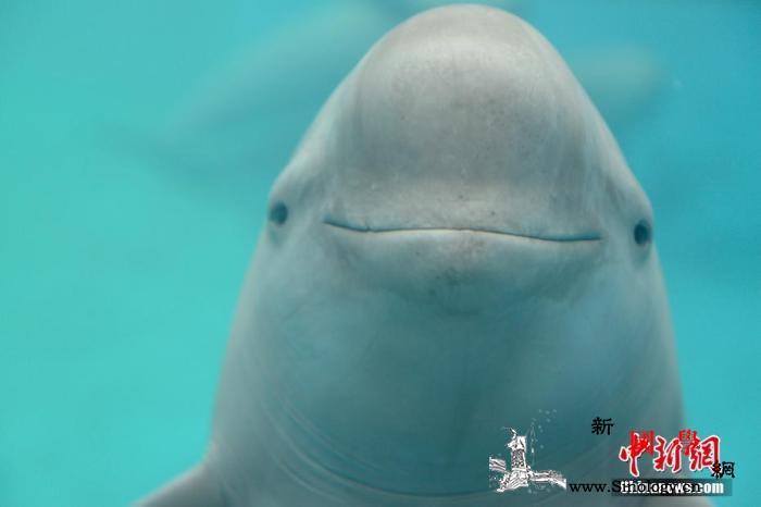 """剖腹弃尸、被囚失明水中""""微笑精灵""""_江豚-鲸鱼-洪都拉斯-"""