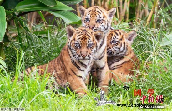 印尼发生苏门答腊虎袭人事件造成1人死_苏门答腊-印尼-老虎-