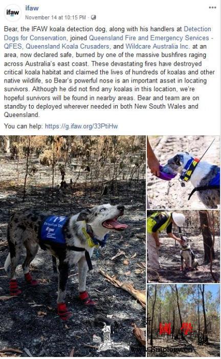 感动!澳大利亚山火形势严峻牧羊犬勇闯_澳大利亚-搜救-牧羊犬-
