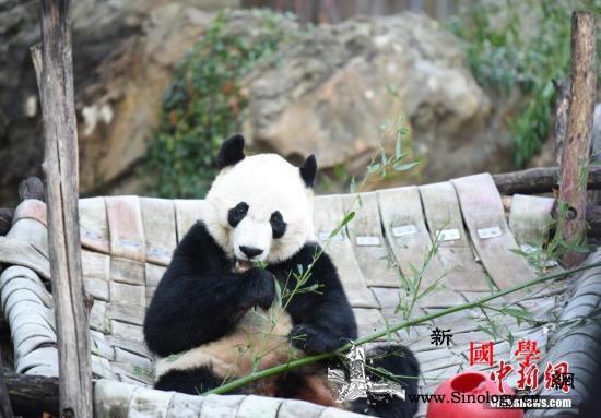 """大熊猫""""贝贝""""回国:美国粉丝不舍中_贝贝-美国-截图-"""