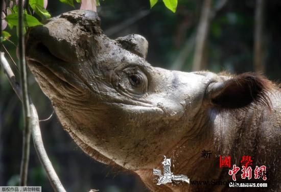 马来西亚最后一只苏门答腊犀牛去世_苏门答腊-沙巴-印尼-