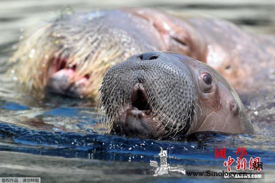 """涉嫌囚禁虐待海象?俄远东""""鲸鱼监狱""""_贝克-海象-鲸鱼-"""