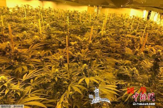 新西兰公布大麻合法化草案规定每人可持_合法化-草案-种植-