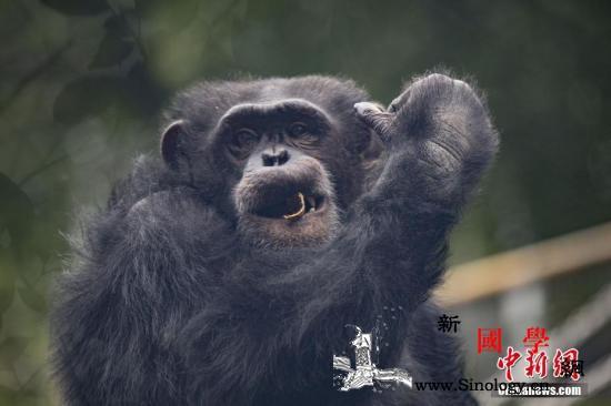 研究:黑猩猩爱随音乐摇摆雄性乐感更好_画中画-黑猩猩-雄性-