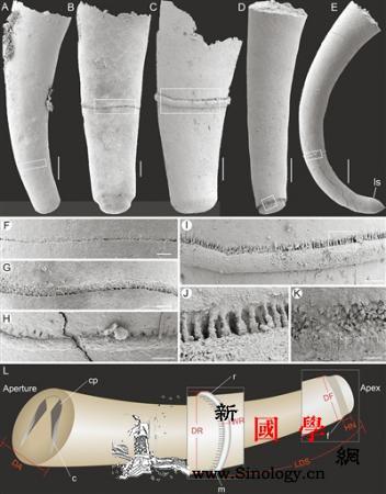 高分辨率显微CT扫描揭示寒武纪动物断_寒武纪-壳体-演化-