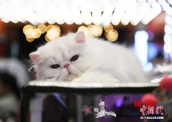 为猫咪植微芯片将成强制要求英国猫奴新_英国-植入-猫咪-