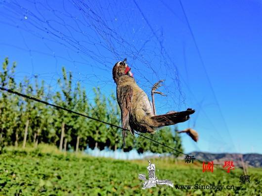 白洋淀出现5公里长捕鸟网非法捕鸟缘何_白洋淀-卢龙县-唐山-