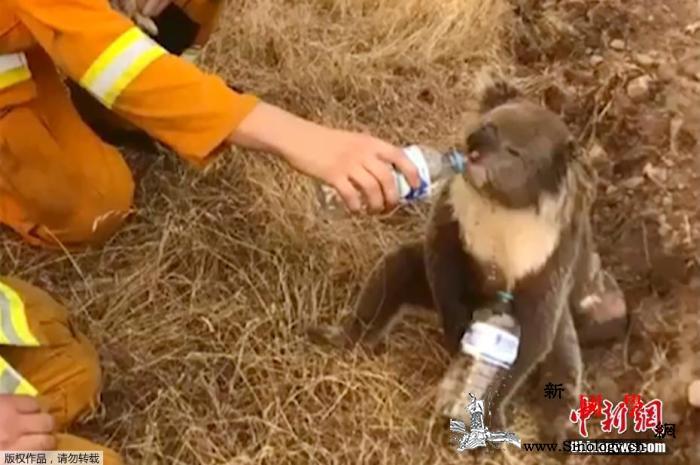 山火肆虐危害大澳大利亚至少2.5万只_干渴-澳大利亚-丧生-