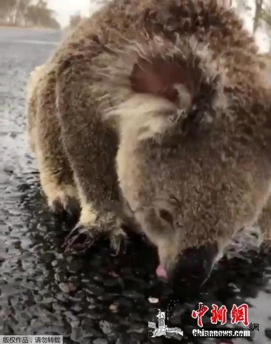 泪目!天降甘霖缓澳大利亚林火考拉马路_威尔斯-马路上-雨水-