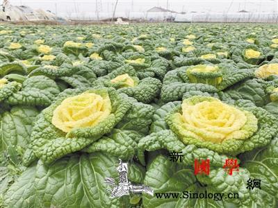 """科技助力减氮增效网红""""玫瑰白菜""""品质_肥力-氮肥-白菜-"""