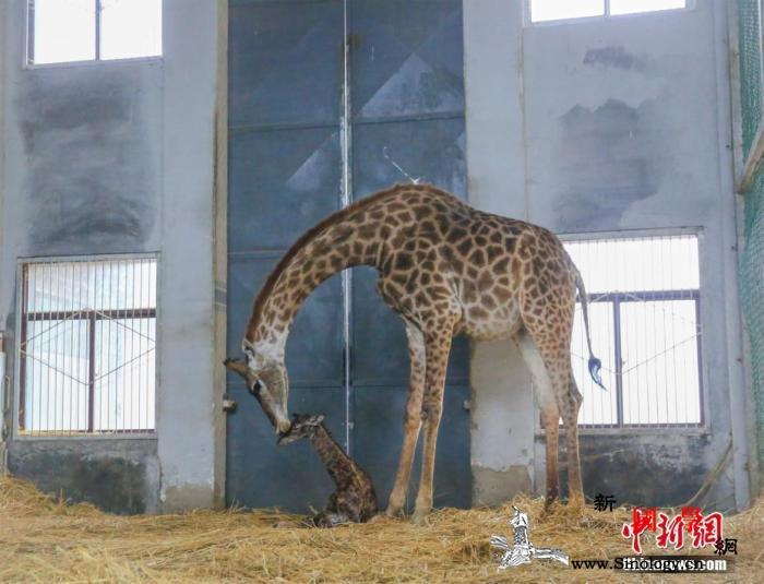 时隔37年东京上野动物园再有长颈鹿宝_画中画-长颈鹿-时隔-