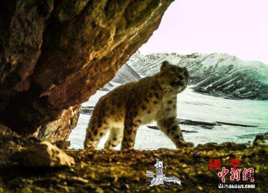 中国实现世界上数量最大的雪豹个体识别_青海省-雪豹-玉树藏族自治州-
