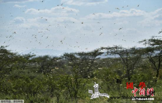 蝗灾肆虐数十年罕见:东非多国遭大量蝗_东非-埃塞俄比亚-肯尼亚-