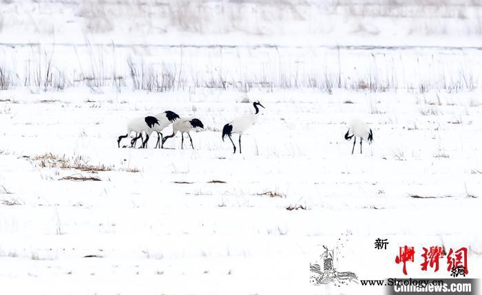 吉林敬信湿地迎来北归丹顶鹤群_珲春市-丹顶鹤-吉林-