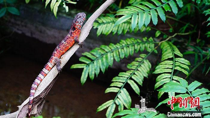 广东罗坑鳄蜥国家级保护区今年诞生46_林业局-种群-广东省-