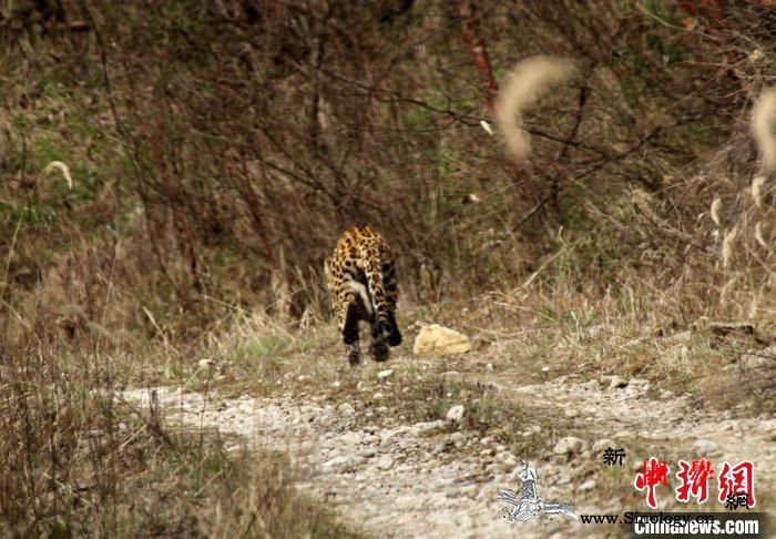 大熊猫国家公园陕西长青:巡护员首次遇_羚牛-金钱豹-首次-