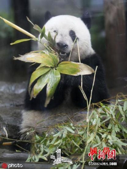 受疫情影响日本上野动物园将为大熊猫香_雌性-香香-动物园-