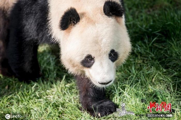 芬兰动物园因资金困难或将熊猫送回中国_芬兰-熊猫-哥本哈根-