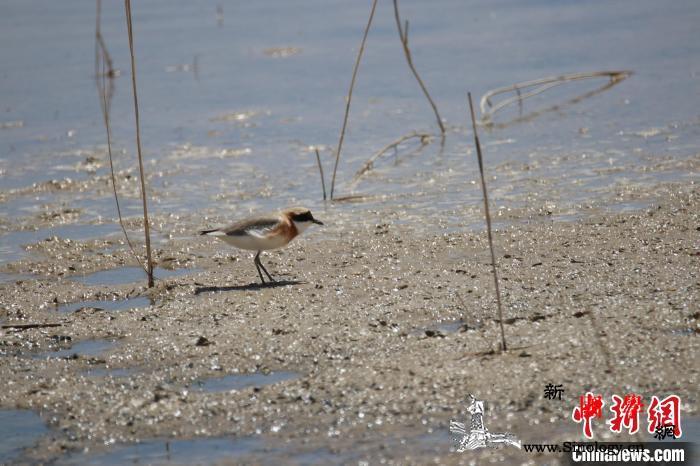 监测显示:柴达木盆地可鲁克湖-托素湖_柴达木盆地-德令哈市-鸟类-