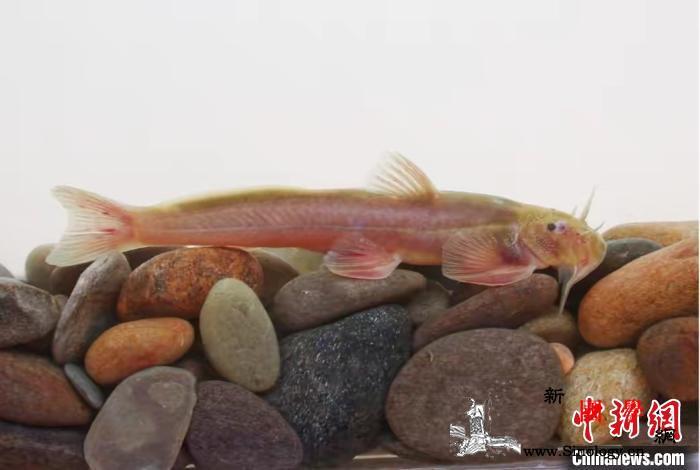 科研人员厘定云南鮡科鱼类一新种——独_湄公河-独龙-昆明-