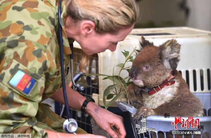 再不保护就晚了!调查称澳新州考拉或在_澳大利亚-栖息-考拉-