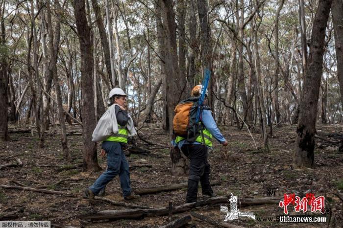 报告:澳大利亚山火致约30亿动物丧生_山火-澳大利亚-获救-