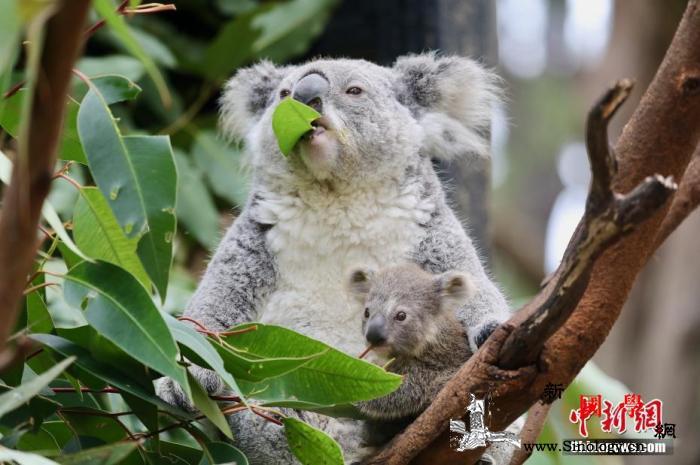 澳大利亚新州将建国家公园以保护考拉栖_澳大利亚-栖息-考拉-