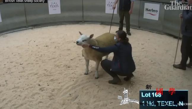 世界最贵的羊!苏格兰拍卖会拍出36万_苏格兰-英国-英镑-
